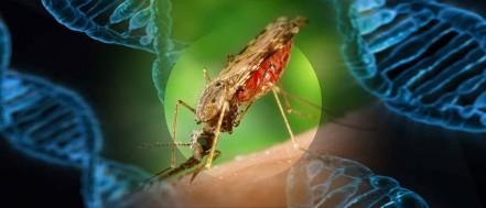 mosquito gene