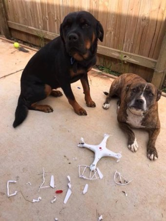 Dogs ate a drone